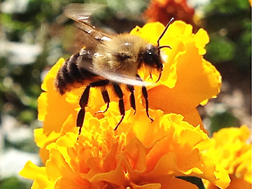 Bee buzzing by marigold