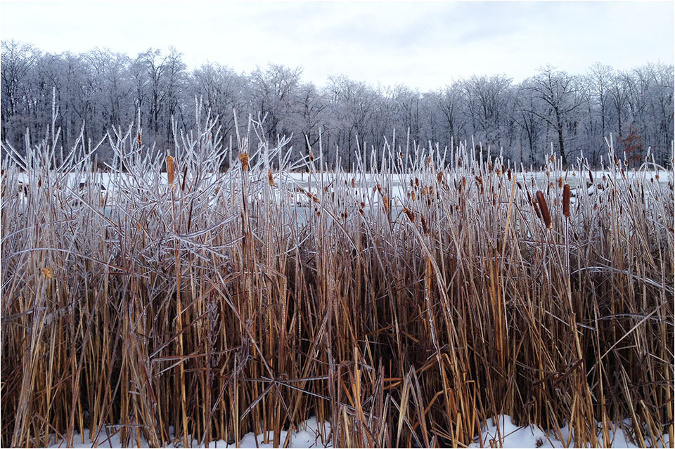Icy Bullrushes